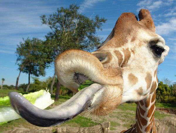 زبان زرافهها خیلی بزرگ است و تا 45 سانتیمتر طول دارد. زرافهها میتوانند با زبان خود چشمانشان را نیز تمیز کنند