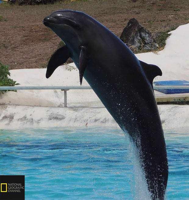 تصویری از ولفین ، یکی از کمیابترین حیوانات زمین که از جفت گیری نهنگ قاتل نر و دلفین پوزه بطری متولد میشود
