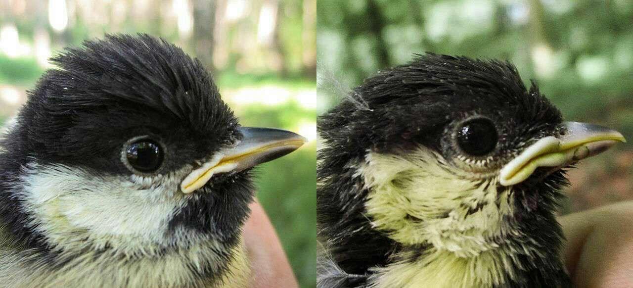نتايج يك بررسى نشان ميدهد پرنده هاى شهرى بر اثر استرس و آلودگى زودتر از همتايان روستاييشان پير ميشوند