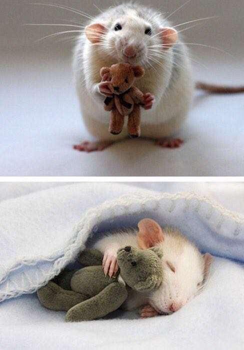 تحقیقات نشان داده موش ها هم علاقه به عروسک دارند