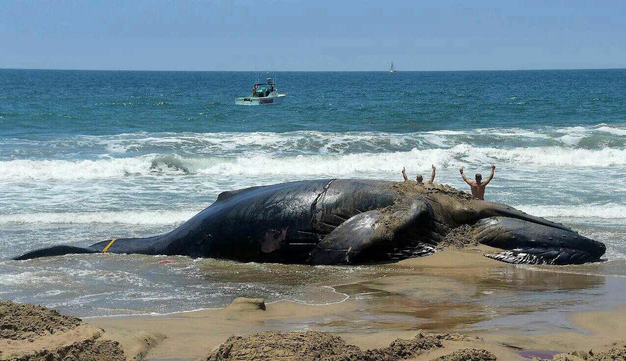 به گل نشستن نهنگ کوهان دار در سواحل کالیفرنیا