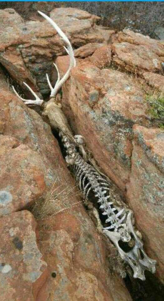 اسکلت گوزنی که در داخل شیاری صخرهای به دام افتاده و از گرسنگی مرده است.