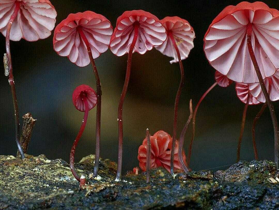 """قارچ زیبای """"ماراسمیوس"""" که شبیه چترهای کوچیکه"""