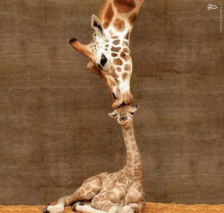 بوسهی زرافه بر نوزاد تازه متولد شده، یکی از چندین عکس منتخب نشنال جئوگرافی..