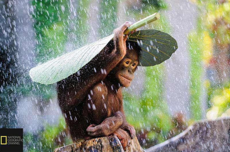 عکس شایسته تقدیر موسسه نشنال جئوگرافیک در سال 2015؛ چتری از برگ بر سر اورانگوتان