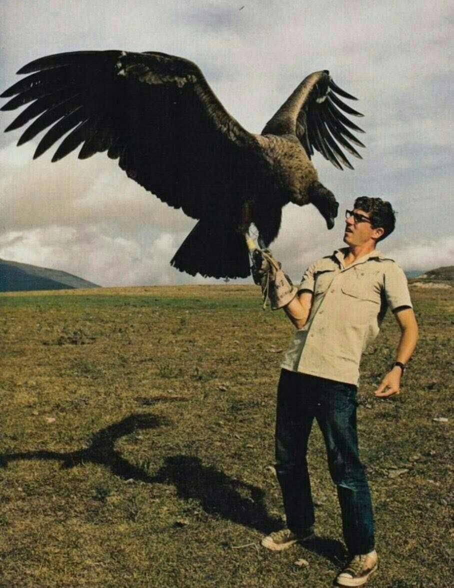 بزرگترین پرنده جهان کرکس کالیفرنیا آمریکای شمالی است