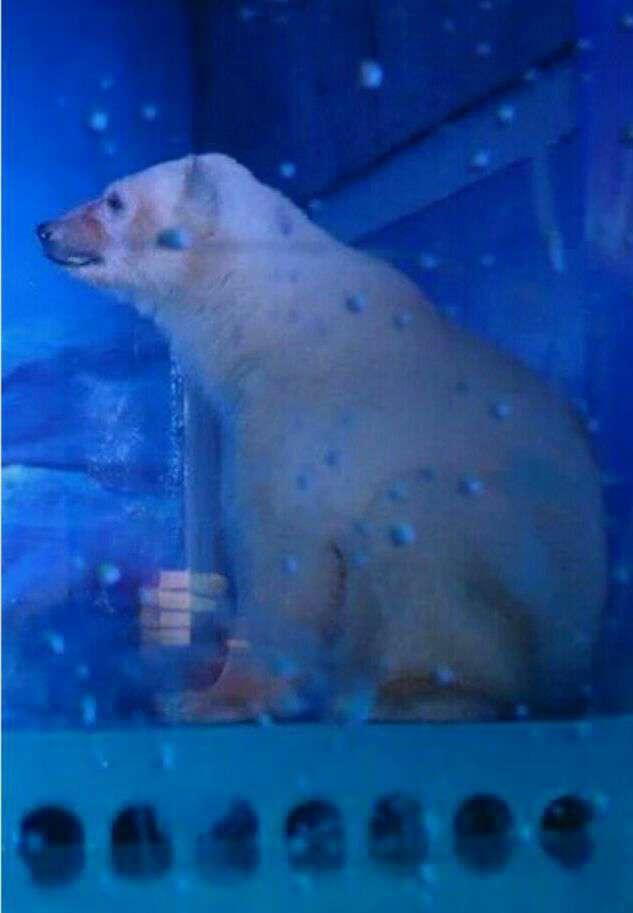 هزاران نفر با ارائه درخواستی، خواستار جمعآوری آکواریومی در جنوب چین شدند که محل زندگی غمگینترین خرس قطبی جهان است