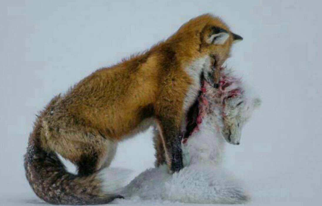 صحنهای که روباهی در حال خوردن روباهی دیگر است جایزه بهترین عکس حیات وحش سال 2016 را به دست آورده است!
