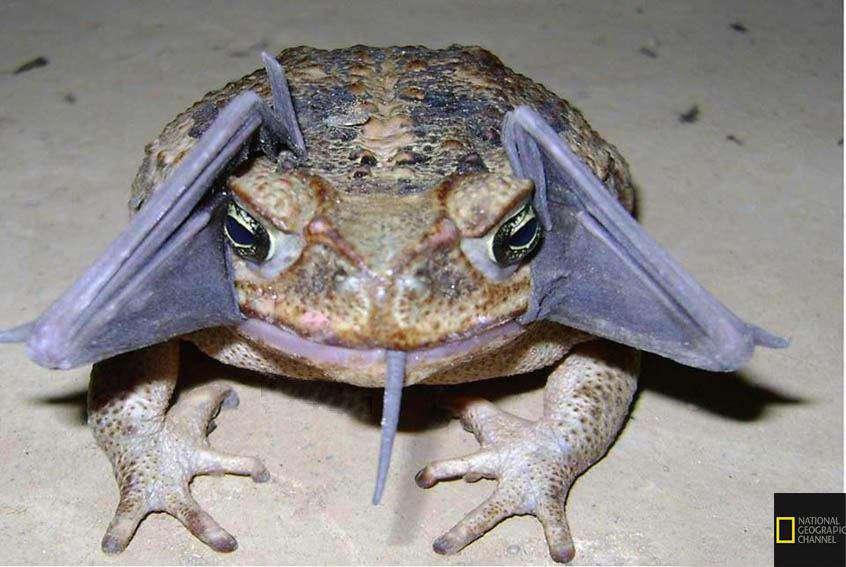 این تصویر یک حیوان خارقالعاده نیست بلکه وزغی است که در حال خوردن یک خفاش است