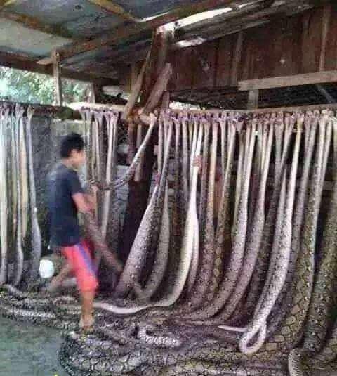 مار فروشی در تايلند