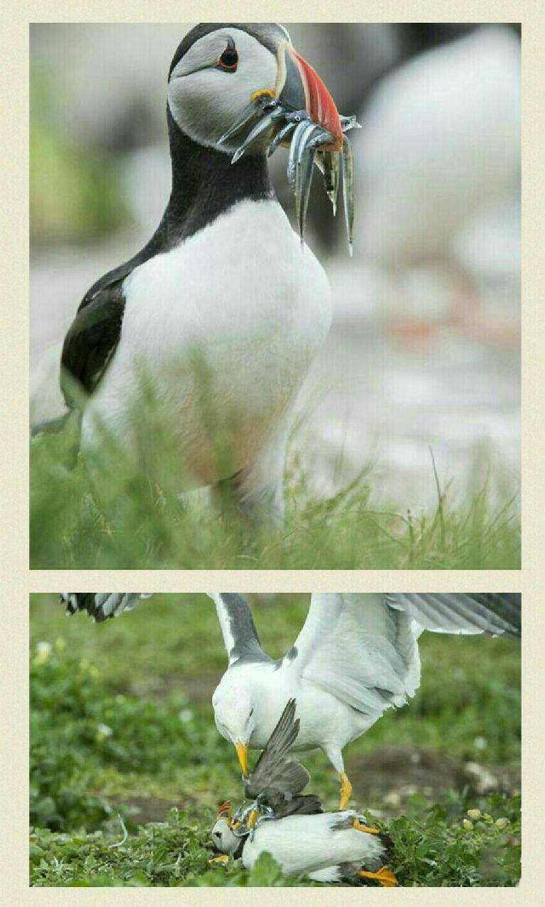 عکاس نشنال جئوگرافیک لحظه ای را شکار کرد که درآن یک طوطی دریایی که چند ماهی را میان منقارهای خود گرفته وبه خشکی آورده بود مورد حمله یک مرغ دریایی قرار گرفت ودسترنج خودرا ازدست داد.
