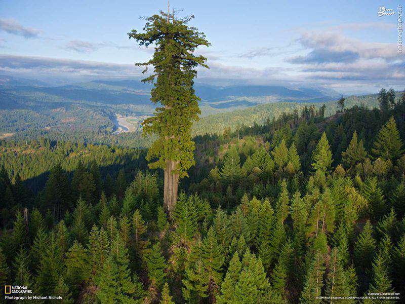 بلندترین درخت روی زمین   ➖ هایپریون نام درخت بومی کالیفرنیا با ارتفاع ۱۱۵٫۶۱ متر  است که به عنوان بلندترین درخت جهان شناخته و ثبت شده است.