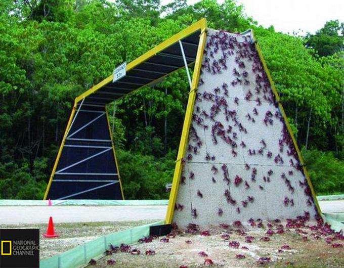 پلی که برای عبور خرچنگها از روی خیابان در هلند احداث شده است