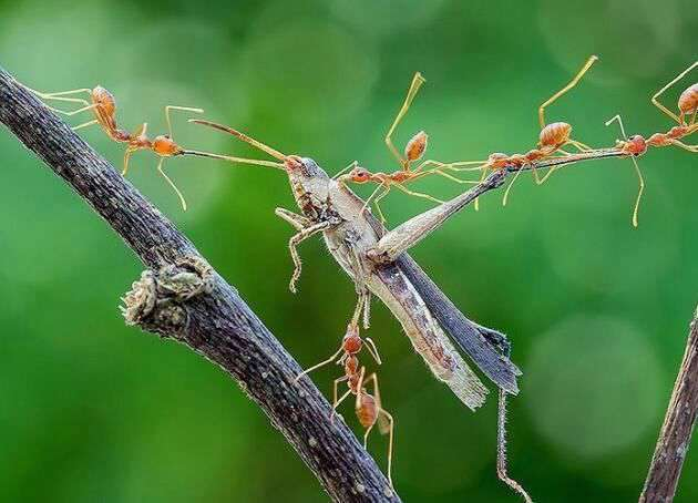 حمله مورچه ها به یک ملخ