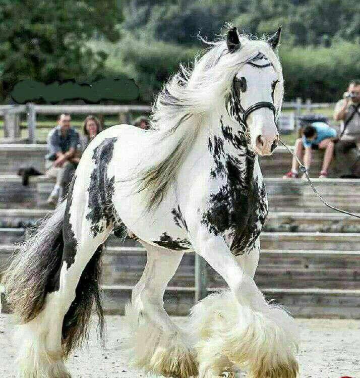 زیباترین اسب جهان