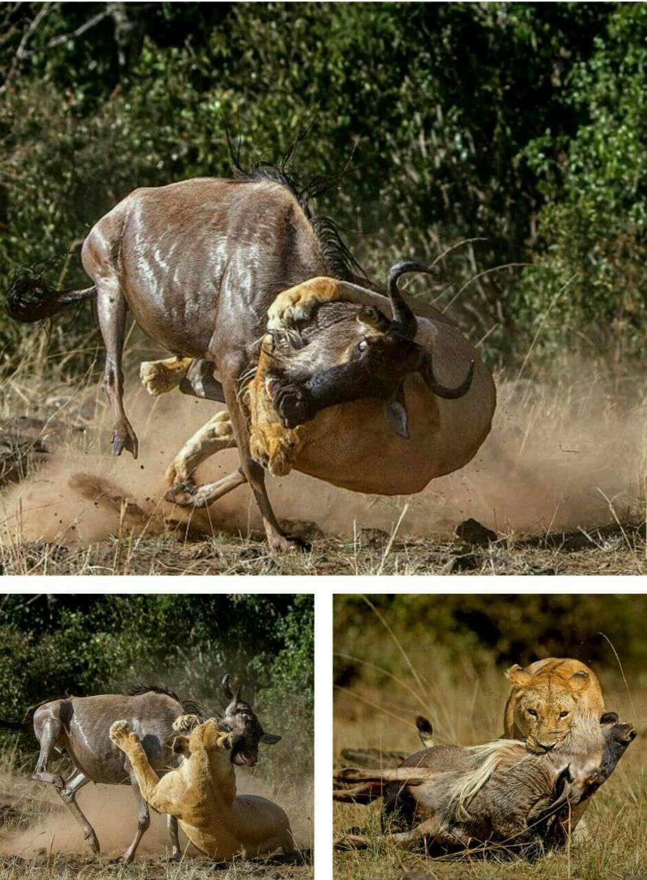 شکار ماهرانه شیر