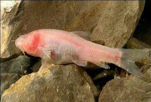 غار ماهی کور