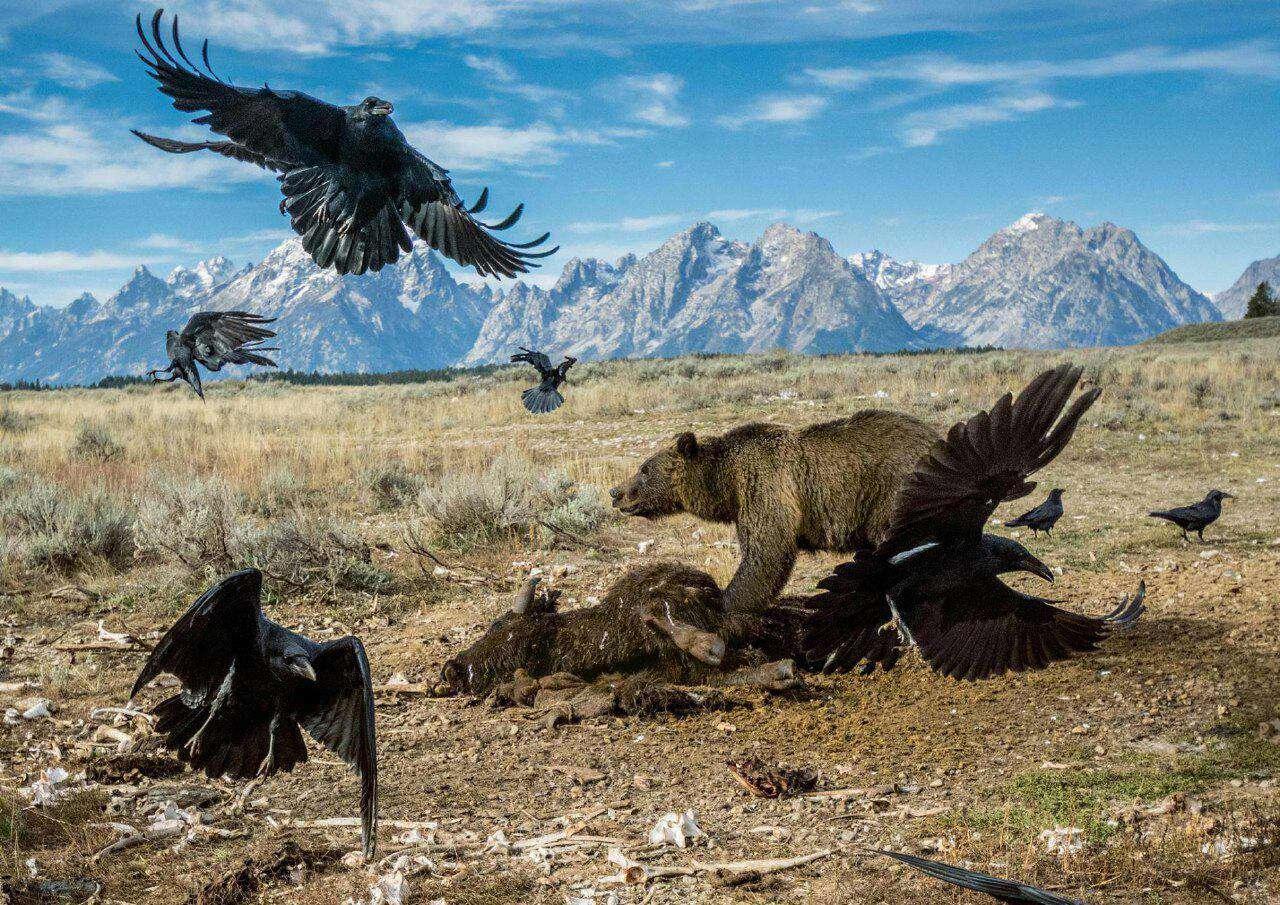 عکسی که برنده جایزه عکاسی حیات وحش شد/ عکاس چارلی همیلتون جیمز در پارک ملی یلواستون آمریکا