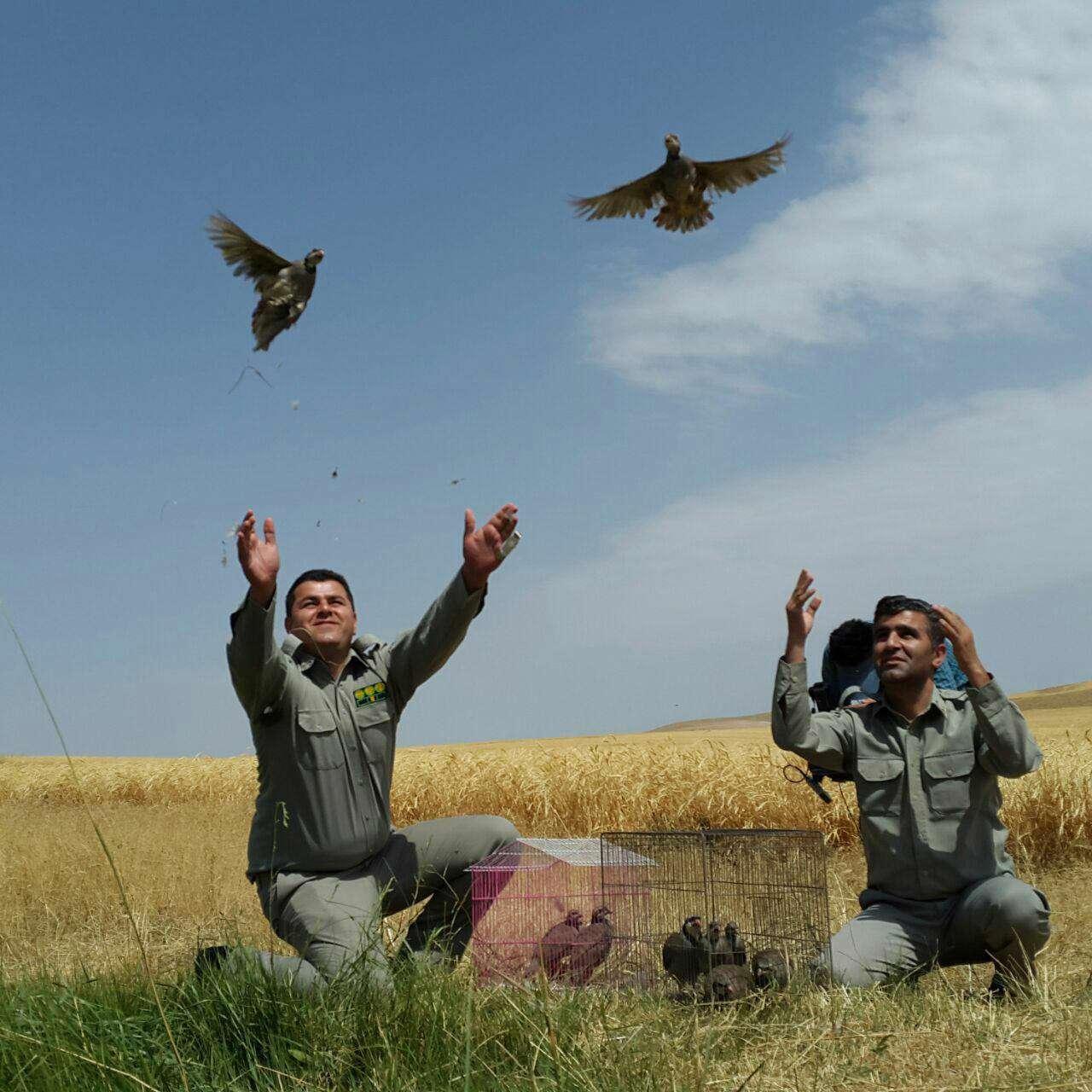 رهاسازی کبک در منطقه مایان قاقازان برای مبارزه با آفات نباتی، مزارع کشت گندم ارگانیک (طرح اجرایی برای اولین بار در ایران)