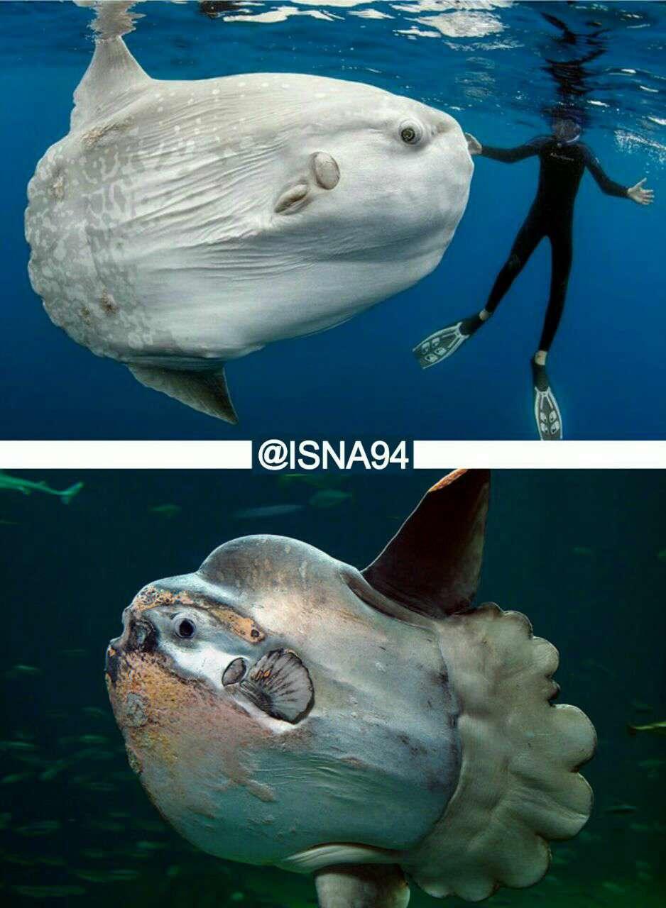 بزرگترین ماهی استخوانی جهان