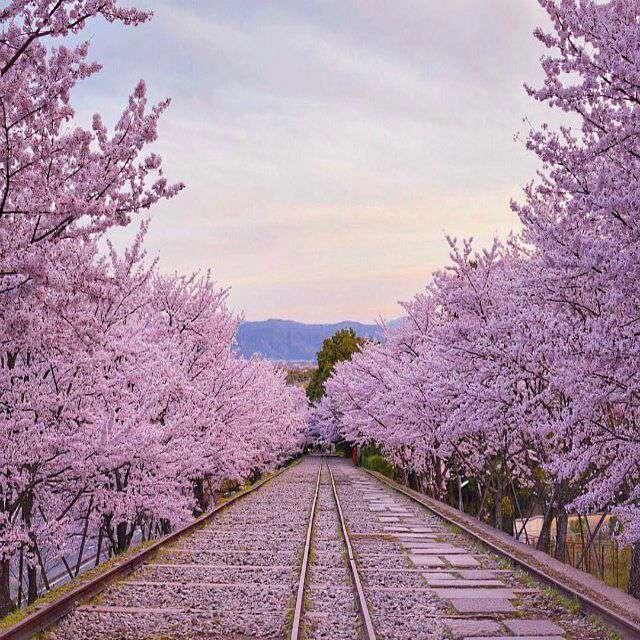 درختانی با گل های صورتی