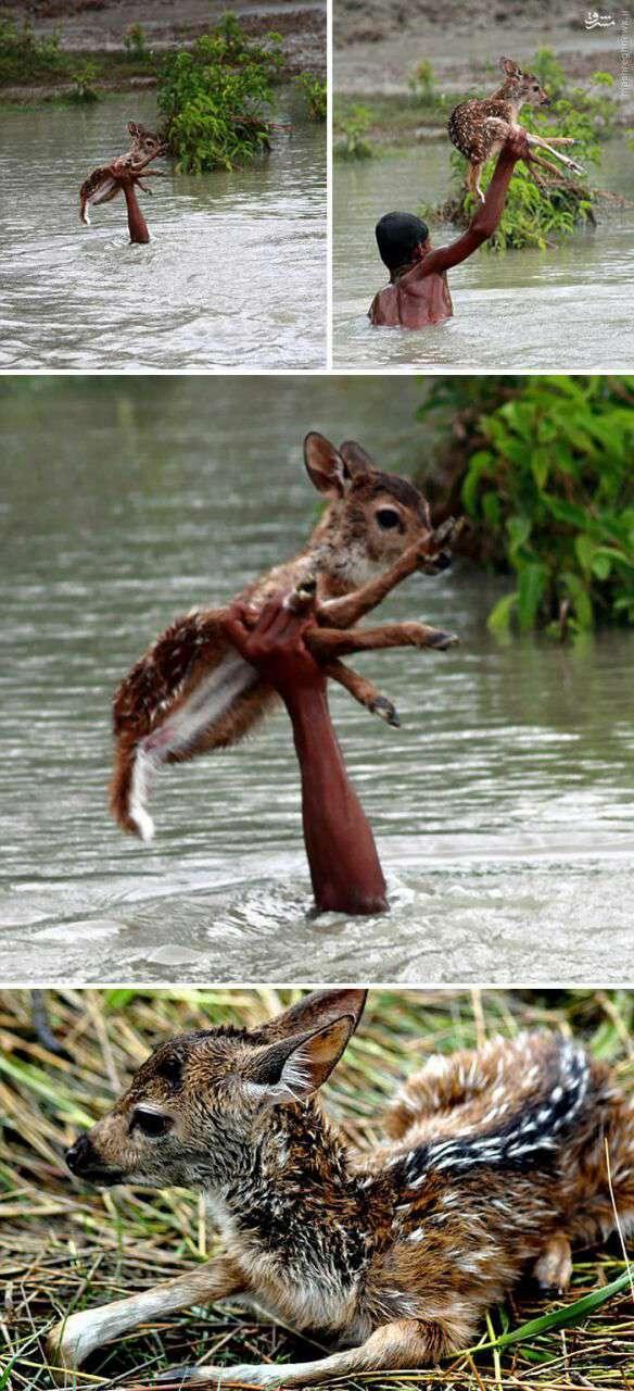 نجات بچه آهو از سیل
