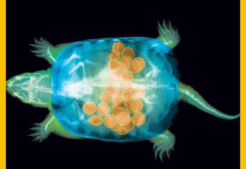 تصویر یک لاک پشت ماده همراه با ۳۰ تخمش که توسط اشعه ایکس گرفته شده است