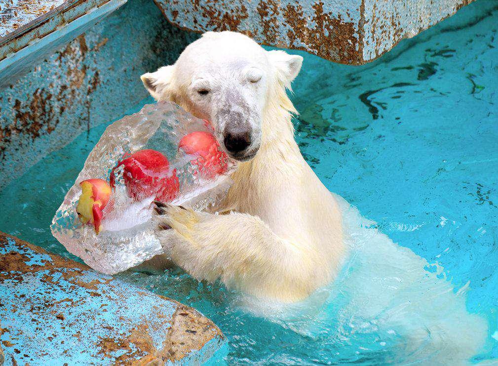 خرس قطبی دو ساله باغ وحش اوزاکا ژاپن