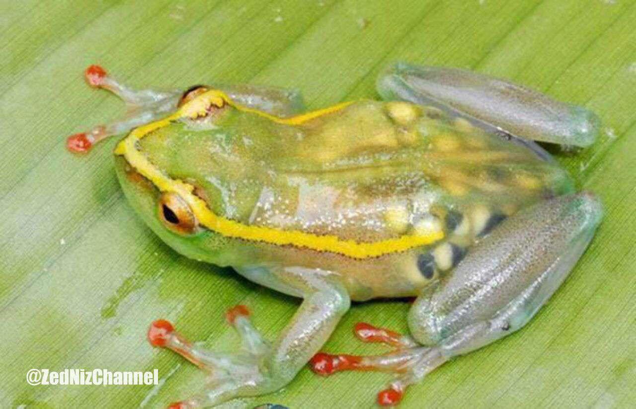 قورباغه شفاف. این قورباغه باردار است و تخمهای درون شکمش به شکل زیبایی پیدا هستند