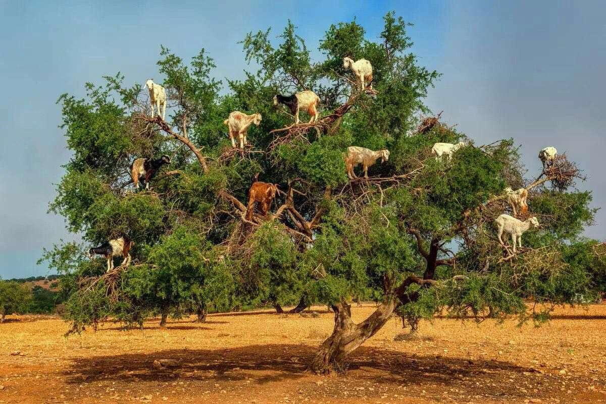 در مراکش نوعی خاص از بز وجود دارد که بهتر از میمون وسایر پستانداران از درخت بالا می رود، بز های درختی جاذبه توریستی مراکش هستند