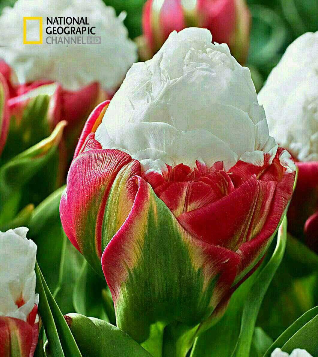 گونه ای گل لاله جالب و زیبا موسوم به لاله بستنی