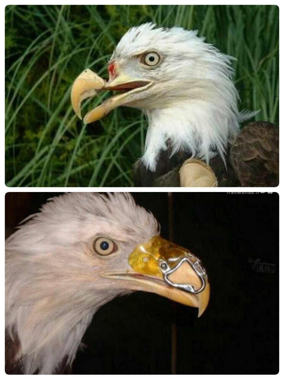 قابی که با شلیک یک شکارچی نوکش را از دست داده بود با کمک یک پزشک و یک دندانپزشک از مرگ نجات پیدا کرد  و نوک این پرنده را برایش درست  كرد