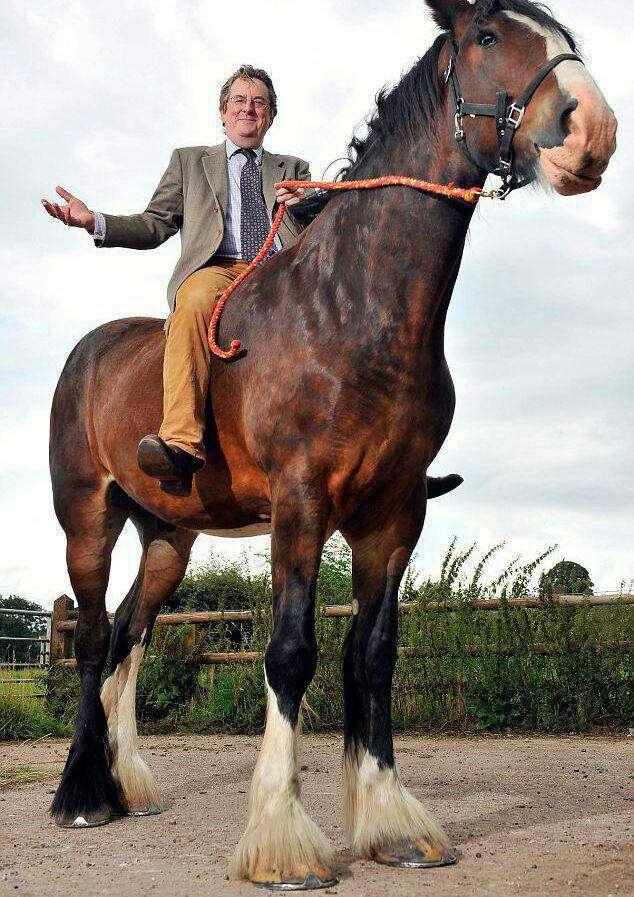 قد بلندترین اسب جهان از نژاد شایر که علاوه بر داشتن 3 متر قد، یک تن هم وزن دارد