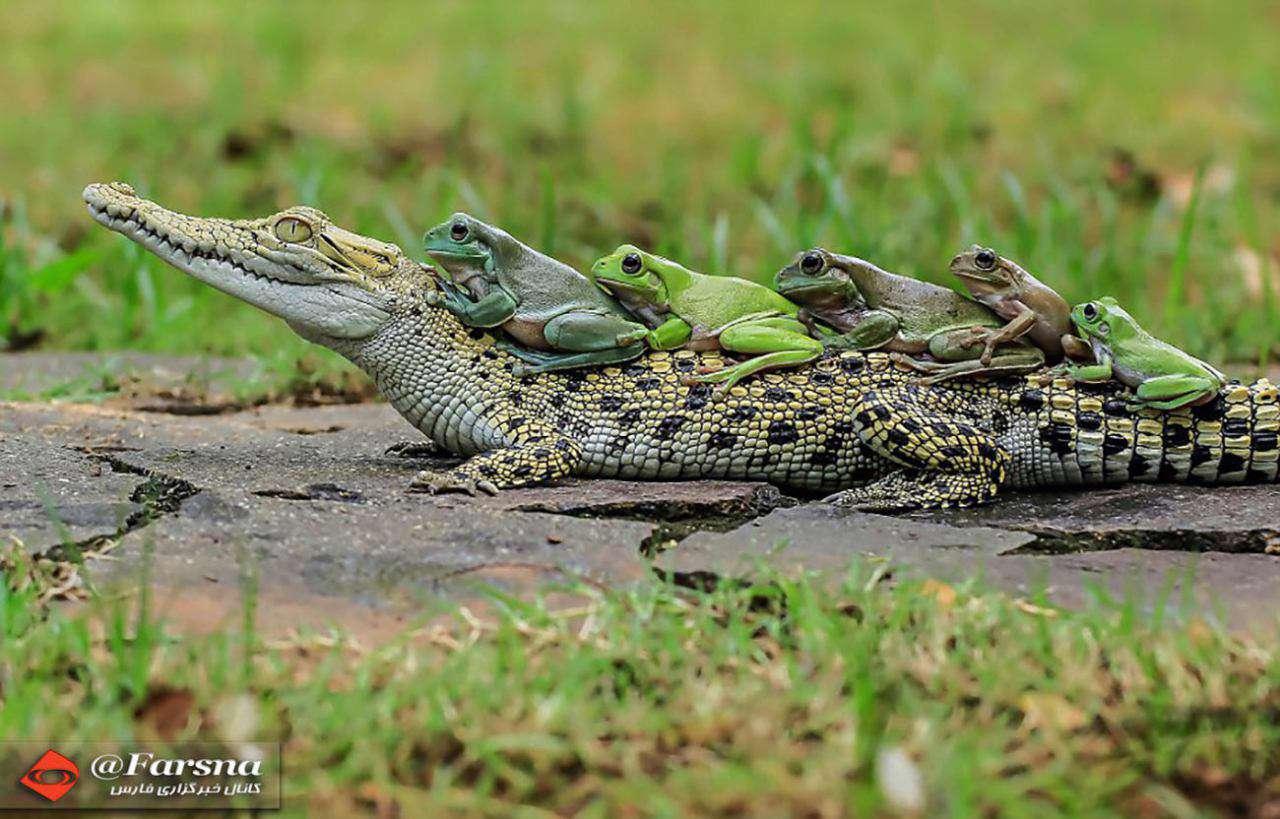 تمساح سواری قورباغهها