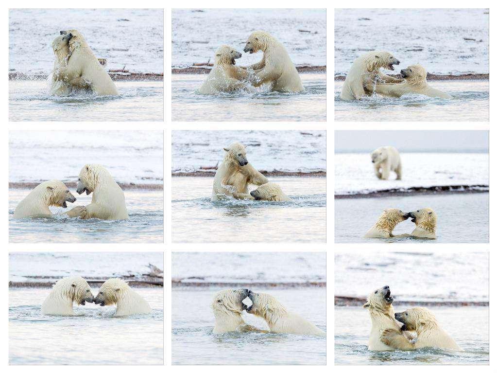 بازی دو بچه خرس قطبی در آلاسکا