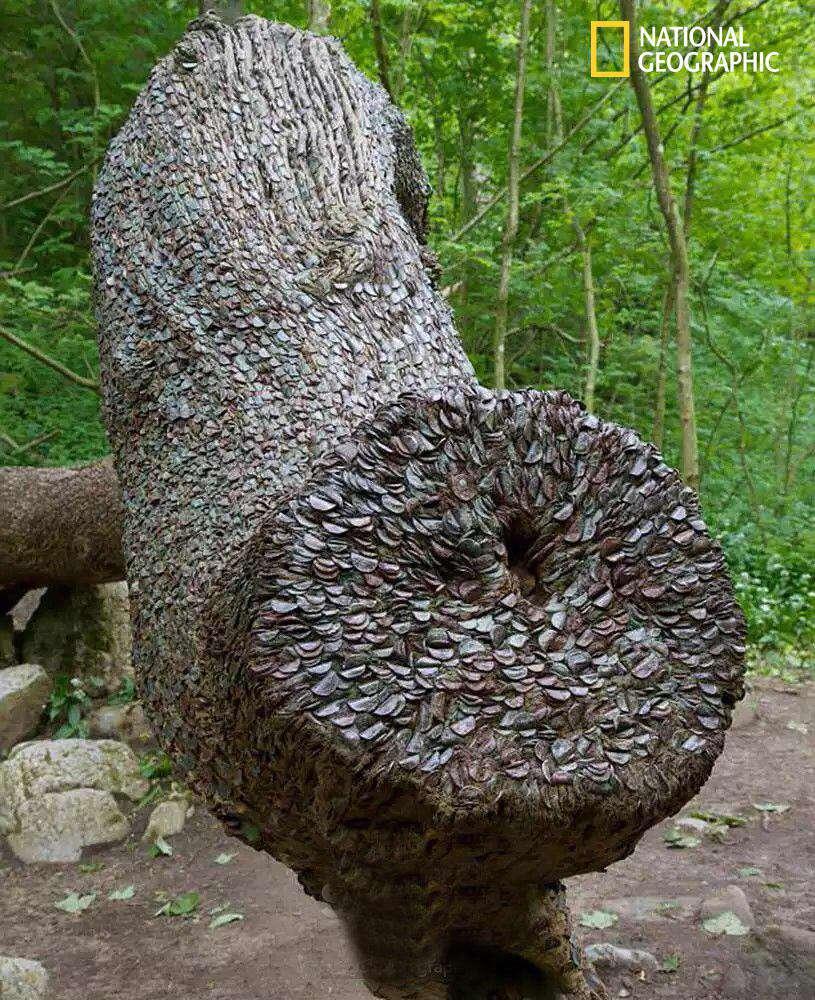 درخت آرزو، که برخی ها معتقدند فرو کردن سکه در آن، خوششانسی می آورد!   تنه ی درخت، پر از سکه است!