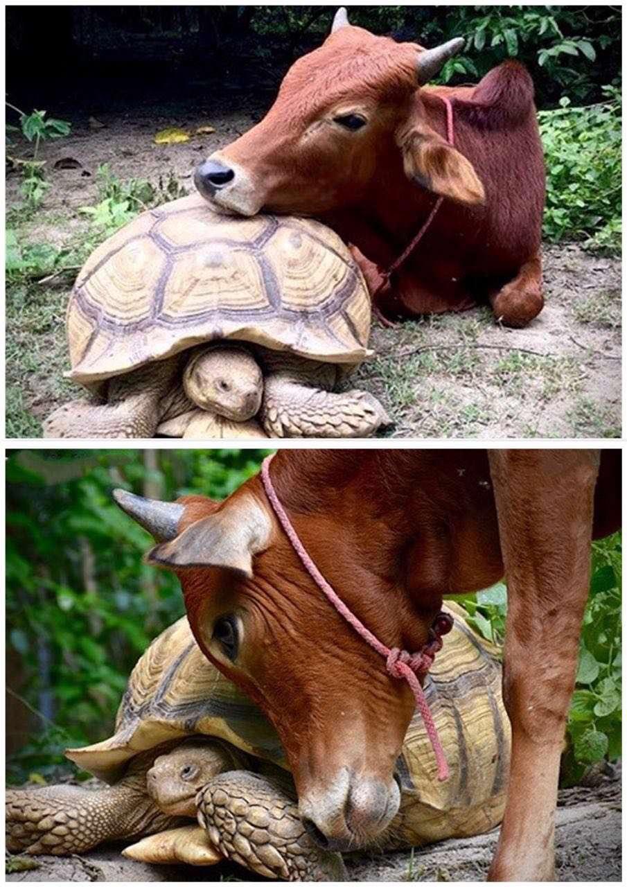 دوستی جالب گوساله با لاکپشت لئونارد و لاکپشت افریقایی اغلب باهم دیده می شوند ، غذایشان را با هم شریک می شوند و باهم استراحت می کنند' دوستی این دو سوژه عکاسان شده