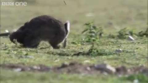 تلاش قاقم برای شکار خرگوش