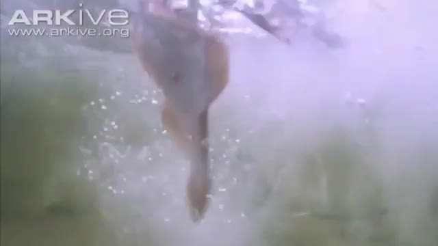 شکار فوق العاده ماهی توسط عقاب