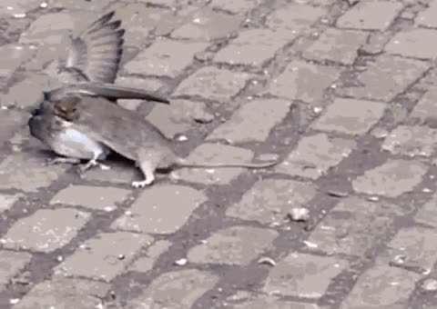 شکار کبوتر توسط موش