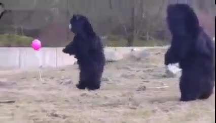 ببینید یک بادکنک معمولی چطور این خرس های گنده  رو سرکار گذاشته