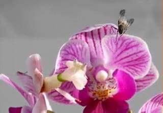 لحظه شکار یک مگس توسط گل Mantis