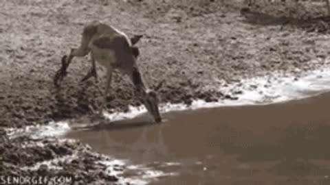 واکنش آهو به حمله تمساح