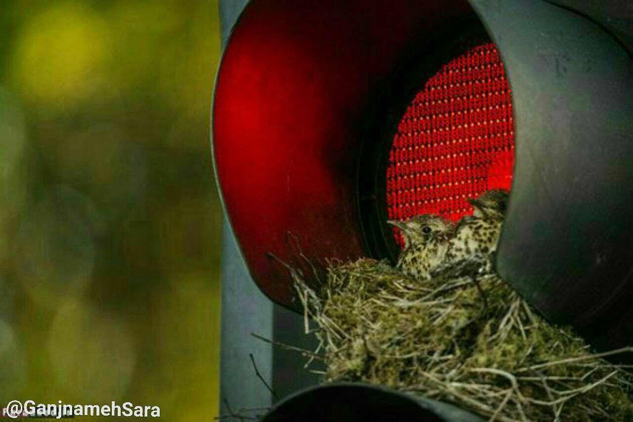 تصویری زیبا از پرنده های شهری و خانه سازی در چراغ قرمز!.