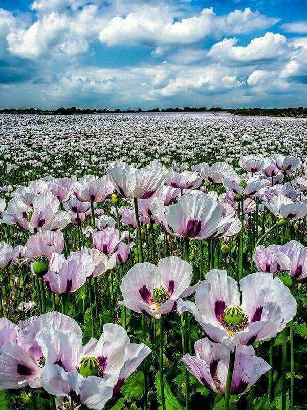 دشت گلهای صورتی