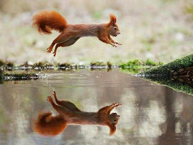 سنجابی در حال پرش