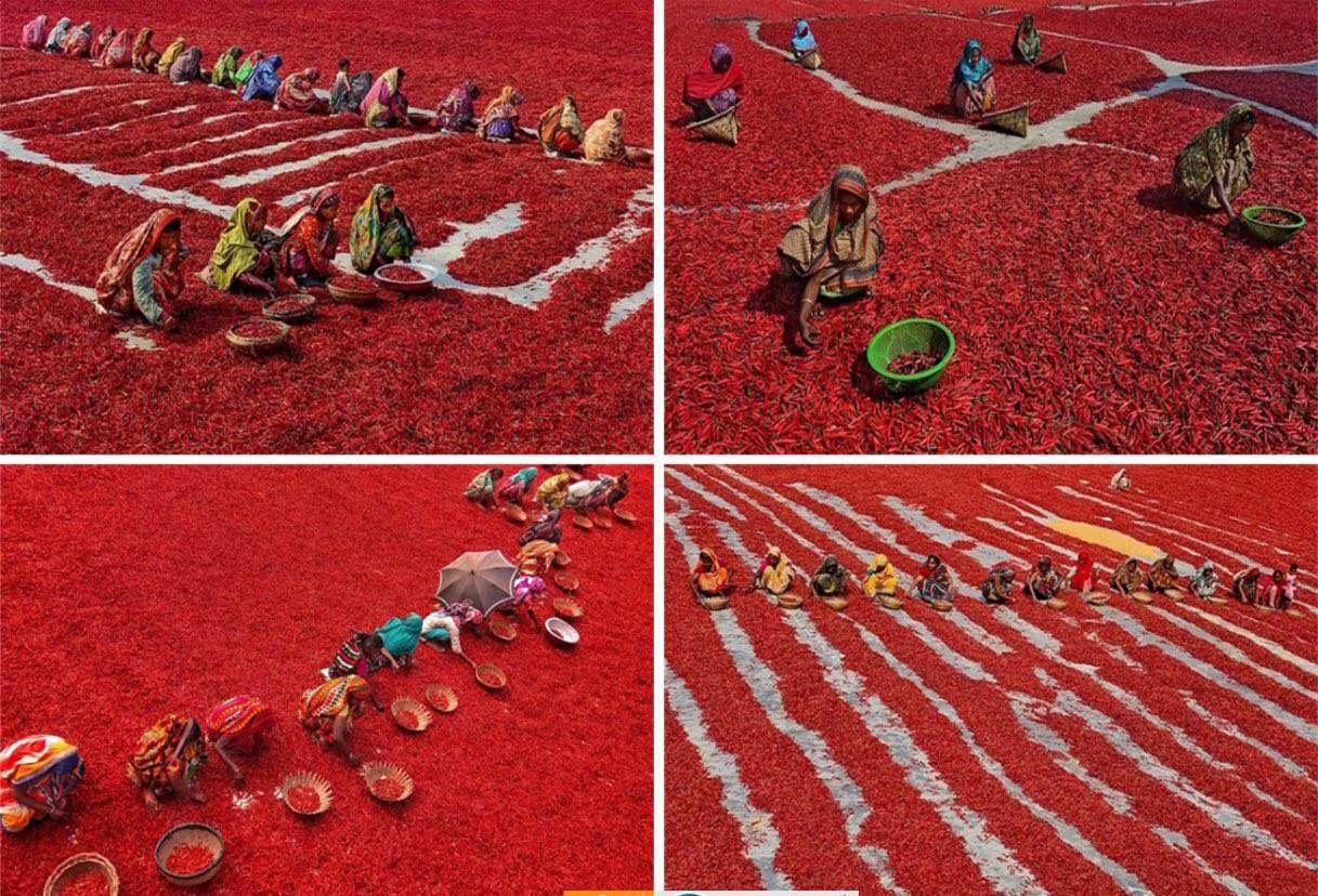 برداشت فلفل قرمز در بنگلادش