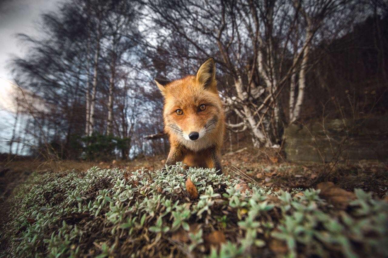 عکس روز نشنال جئوگرافیک یک روباه کنجکاو سرش را در نزدیکی لنز دوربین عکاس برده است