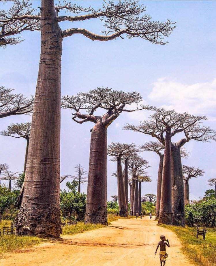 درختان بائوباب - ماداگاسكار