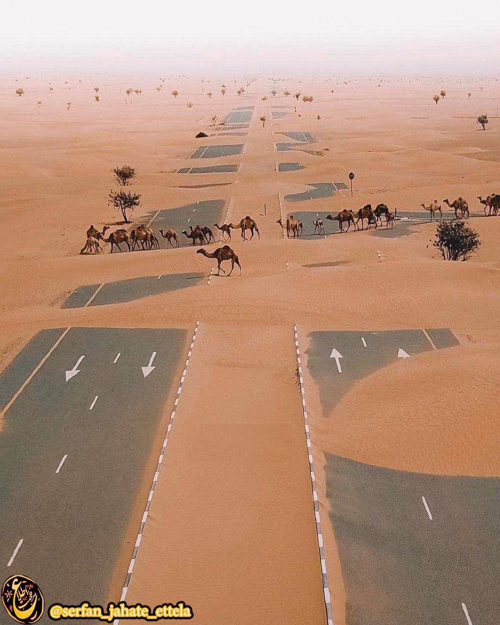 عبور شترها از بزرگراهی در صحرا